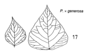 Tafel 7 (Teil): Populus x generosa