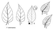 Tafel 8 (rechts): Populus szechuanica