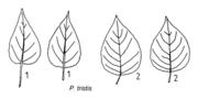 Tafel 8 (rechts): Populus tristis