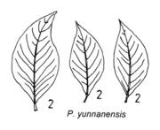 Tafel 8 (rechts): Populus yunnanensis