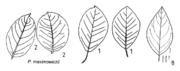 Tafel 9 (links oben): Populus maximowiczii