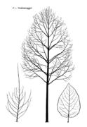 Tafel 9 (rechts): Populus x Androscoggin