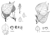 Tafel 10: Populus balsamifera