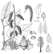 Tafel 11 (links): Populus trichocarpa