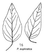 Tafel (rechts)11: Populus euphratica