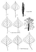 Tafel 14 (links): Populus nigra
