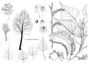 Tafel 16: Populus x canadensis 'Marilandica'