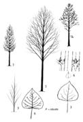 Tafel 23 (rechts): Populus x robusta