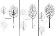 Tafel 25: Populus deltoides