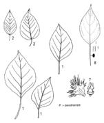 Tafel 26 (Teil): Populus x berolinensis