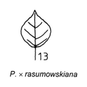 Tafel 26 (Teil): Populus x rasumowskiana