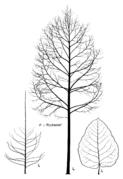 Tafel 27 (Teil): Populus x 'Rochester'
