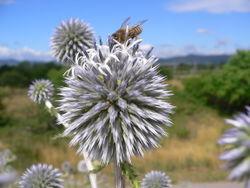 Blütenstand– Georg Slickers, CC BY-SA 3.0