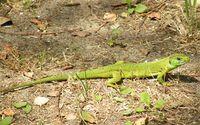 Lacerta viridis, Italien–  Rosolina