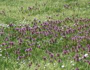 Die Purpurrote Taubnessel kann im Rasen dichte Bestände bilden. Nach einer Mahd sind die neuen Blätter grün. (Bild: W. Wohlers, JKI)