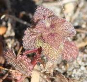 Die ersten Blätter einer bereits im Herbst gekeimten Pflanze sind im Frühjahr meistens ganz rot gefärbt. (Bild: W. Wohlers, JKI)