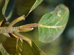 alt=Description de l'image Leaf of Artocarpus chaplasha P1130467 03.jpg.