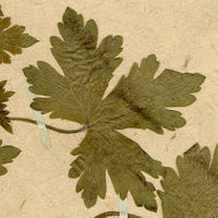 Leaf on Herbarium sheet of Geranium bohemicum L., Dryades TSB70599.jpg