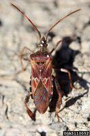 Leptoglossus occidentalis IPM5110052.jpg