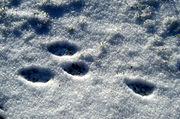 Feldhase (Lepus europaeus), Spur im Schnee