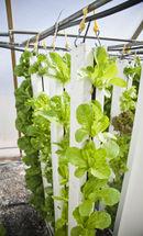 Lettuce in Vertical Farm.jpg
