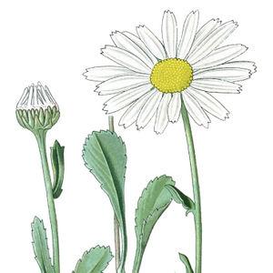 Blüte und Knospe der Margerite—Abbildung nach Thomé & Müller (Bd.4, 1905) verändert