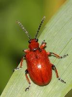 Maiglöckchenhähnchen –  Lilioceris merdigera:  gbohne, CC-BY-SA-2.0
