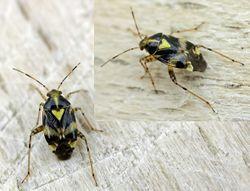 Gepunktete Nesselwanze (Liocoris tripustulatus) - http://home.tiscali.be/entomart.ins/