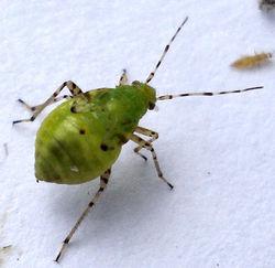 Nymphe der Gepunkteten Nesselwanze - User: Mick Talbot - DSC08039 Heteroptera: Liocoris tripustulatus Uploaded by berichard