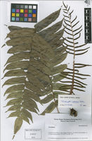 Lomariopsis hederacea