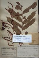 Lomariopsis muriculata