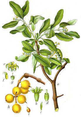 Loranthus europaeus Sturm43.jpg