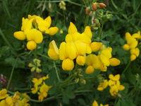 Blüten von Lotus corniculatus (Foto: Alexandra Kehl)