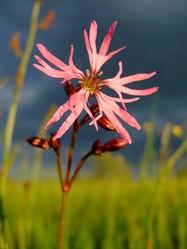 Kuckucks-Lichtnelke: Blüte– Aiwok, CC BY-SA 3.0
