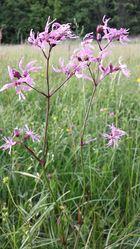 Kuckucks-Lichtnelke: Pflanze– Stefan.lefnaer, CC BY-SA 3.0