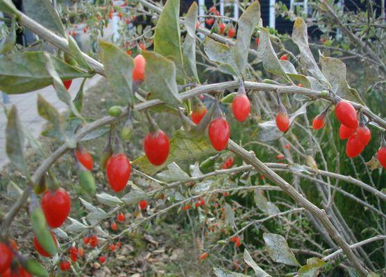 Lycium-barbarum-fruits.JPG