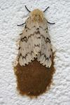 Lymantria dispar Schwammspinner Weibchen Gelege.jpg