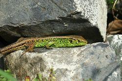 Männchen - böhringer friedrich, CC BY-SA 2.5
