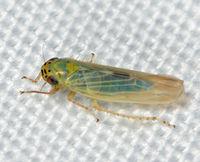 Macrosteles quadrilineatus BugGuide668898.jpg