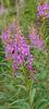 Epilobium angustifolium, Blütenstand