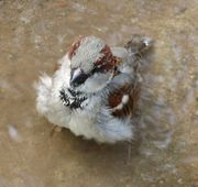 Male House Sparrow Bathing.jpg
