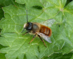 Rostrote Mauerbiene: Männchen - gailhampshire, CC BY-SA 2.0
