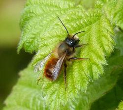 Rostrote Mauerbiene: Männchen - gailhampshire, CC BY-SA 3.0