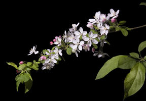 Malus floribunda (Japanese crabapple).jpg