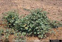 Malva parviflora IPM5386905.jpg