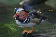 Mandarin Duck 5589.jpg