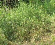 Hopfenklee wächst häufig am Wegrand und kann an anderen Pflanzen hochrankend bis zu 50 cm hoch werden. (Bild: W. Wohlers, JKI)