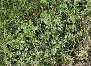 Im Rasen kann es sich durch dicht am Boden wachsende Ausläufer schnell verbreiten. (Bild: W. Wohlers, JKI)
