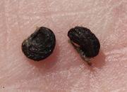 Hier das Fotos der 3 mm großen, losen, schwarzen Samen zeigt, dass sie nierenförmig sind. (Bild: W. Wohlers, JKI)