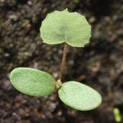 Das Keimblatt ist länglich oval, ungestielt und ca 1 cm lang. (Bild: W. Wohlers, JKI)